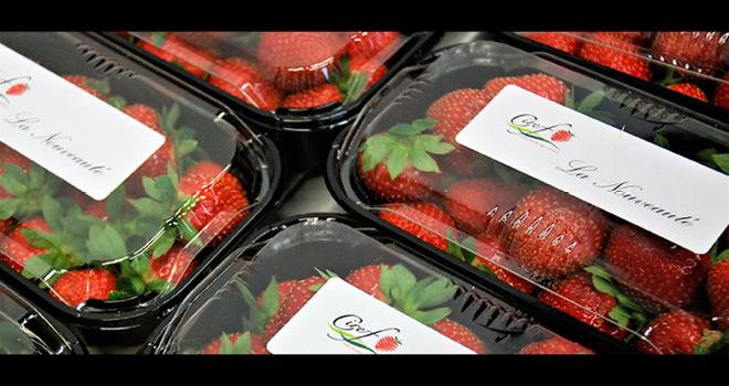 La nouvelle variété de fraise mise au point par le Ciref et présentée lors du Vinitech 2018 sous le code CIR121, cherche encore son futur nom. Photo : O.Lévêque/Pixel Image