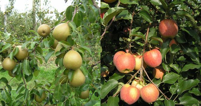 La station d'expérimentation de la Morinière organise une journée technique pomme-poire, le jeudi 28 juin 2018. Photo : DR