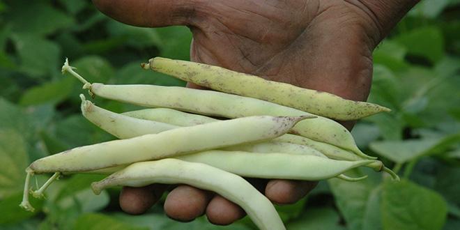 La nouvelle baisse des surfaces de coco de Paimpol laisse entrevoir une diminution sensible du chiffre d'affaires 2018. © Expression/Prince de Bretagne