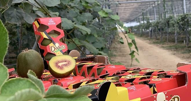 Le kiwi rouge Dored présente un goût plus doux, plus sucré et moins acide que le kiwi vert, explique le producteur Jean-Michel Aurières. Photo : Reden Solar