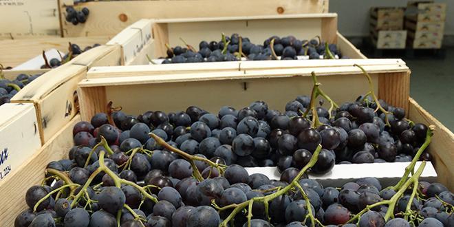 Des retours positifs de la presse et une météo exceptionnelle: l'AOP raisin de table tire un premier bilan positif pour ce cœur de campagne. Photo: L.Rubio/Pixel Image