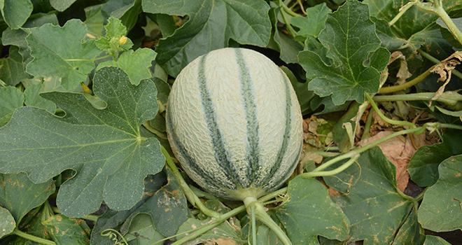Le melon a été déclaré en crise conjoncturelle par le Réseau des nouvelles des marchés du 20 au 24 juillet 2019. Photo : C.Even/Pixel6TM