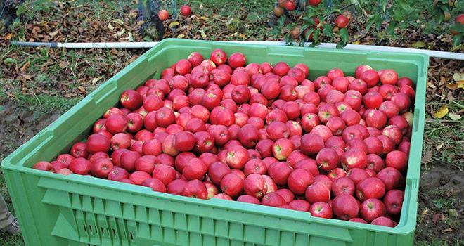 En 2020, sur des surfaces en légère baisse, la production française de pommes à 1,3 Mt recule de 13 %, atteignant son niveau le plus bas depuis sept ans, indique Agreste dans une note du 29 avril. Photo O.Lévêque/Pixel6TM