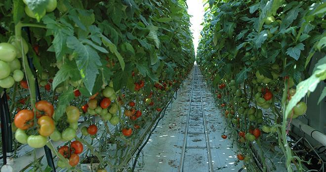 Le nouvel insecticide Eradicoat® de Certis a été appliqué sur plus de 25% des surfaces cultivées en tomates sous abri en France. Photo : O.Lévêque/Pixel Image.