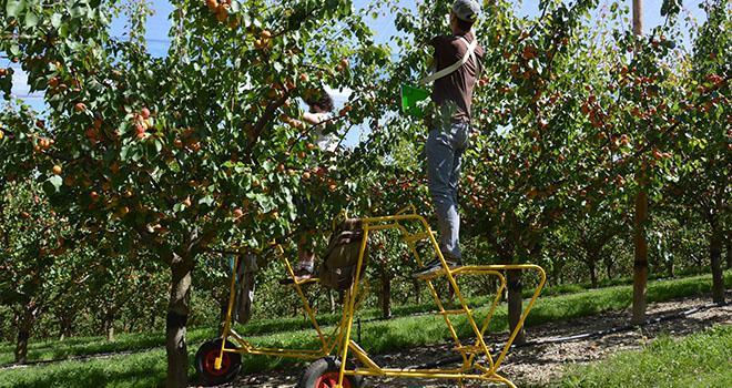 Les prévisions de récolte 2018 en abricots sont annoncées en recul de 14 % sur un an. Photo : C.Even/Pixel Image
