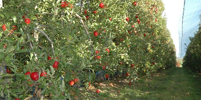 En pommes, la récolte française 2020 devrait s'établir à 1,431 Mt, inférieure à la moyenne décennale de 1,521 Mt, et aux 1,651 Mt de 2019. Photo : O.Lévêque/Pixel6TM