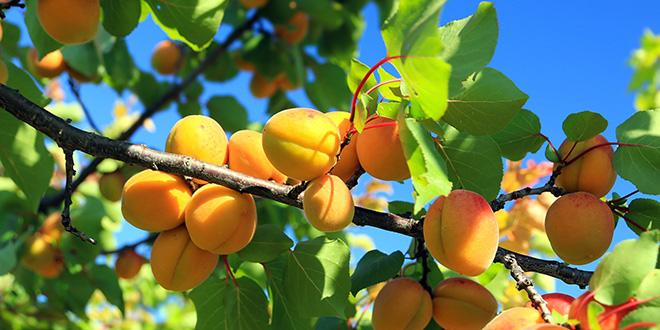 La production d'abricots est estimée à 145 000 tonnes, en hausse de 28 % par rapport à la récolte de 2016.