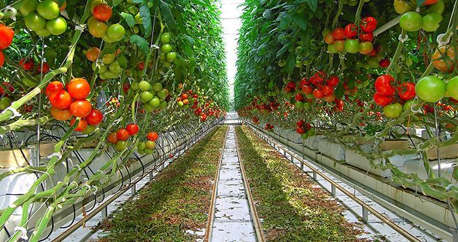 L'AOPn Tomates et Concombres de France poursuit son chemin vers les pratiques à haute valeur environnementale. Photo : photlook