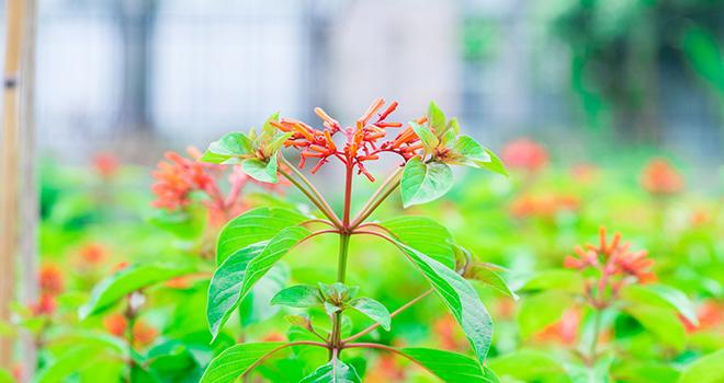 Avec son action insecticide et répulsive, la quassine est de plus en plus utilisée par les arboriculteurs, notamment en bio, contre l'hoplocampe du pommier. Photo : Aerawan