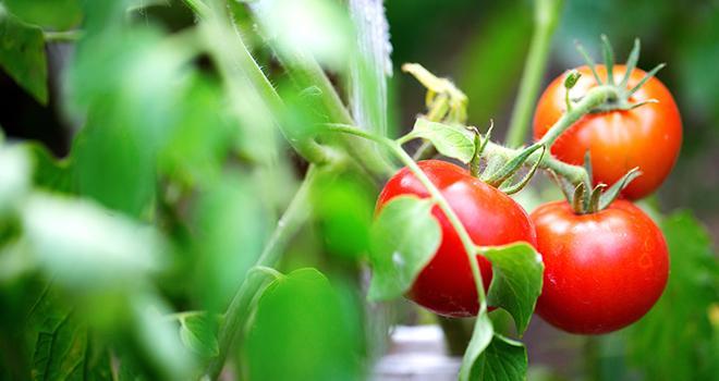 La production annuelle de tomate est estimée en léger recul par rapport à 2017. Photo : BestForYou