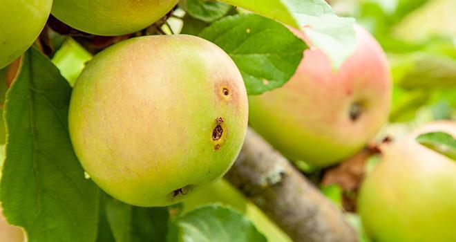 La technique de l'insecte stérile pourrait constituer une solution de biocontrôle intéressante pour lutter contre les ravageurs des fruits. Photo : adragan/Fotolia