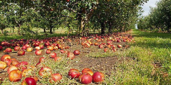 La production de patuline, une mycotoxine, est favorisée lorsque la surface de la pomme a été endommagée.