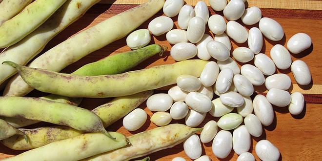 1998-2018 : voilà 20 ans que le coco de Paimpol a obtenu l'appellation d'origine contrôlée.© CB94