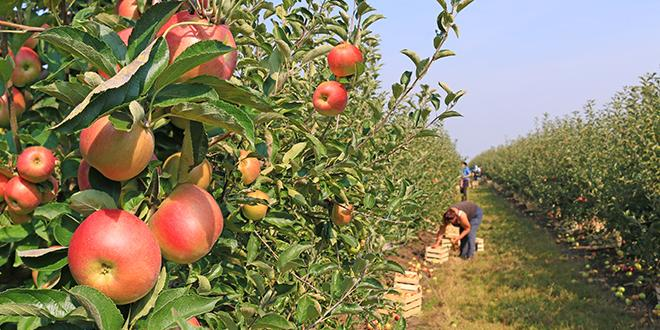 En Italie, la Coldiretti s'attend à une récolte de pommes en recul. © Branex/Fotolia