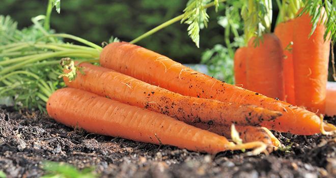La production nationale de carottes pour le frais de la campagne 2018-2019 reculerait de 13 % sur un an. Photo : coco - Adobe Stock