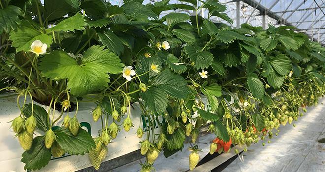En fusionnant avec le Ciref, les activités d'Invenio s'élargissent à la création et à la sélection variétales, plus particulièrement à celles de la fraise. Ici, des fraises cultivées à la station Invenio de Sainte-Livrade-sur-Lot. Photo: B.Bosi/M&A