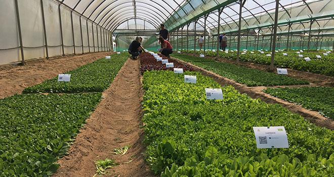 Fin avril, Rijk Zwaan organisait une présentation de ses variétés de salades à semer : jeunes pousses, épinard, mâche, red chard mais aussi en roquette. Photo : O.Lévêque/Pixel Image