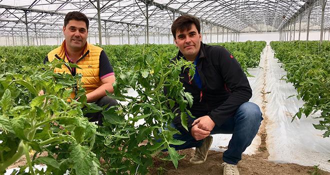 Damien et Jean-Édouard Brelet produisent cette année 5 000 m² de tomate Locabelle en pleine terre. Photo : O.Lévêque/Pixel Image