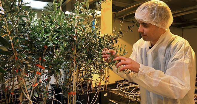 Nicolas Denance, en post-doctorat financé par la Région des Pays de la Loire (2015-2017), étudie le pouvoir pathogène de la bactérie sur les cultures d'intérêt économique pour la région. Crédit Photo Inra Nantes-Angers.