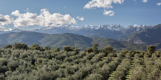 """Pour contrer """"Xylella fastidiosa"""", l'AOP huile d'olive de Corse met en place une filière locale de plants d'oliviers certifiés. Les premières livraisons aux pépiniéristes devraient être effectives en juillet."""