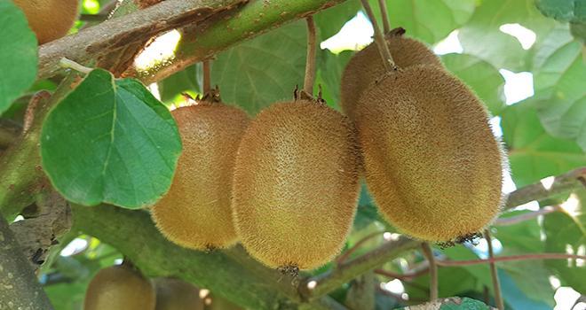 """Les producteurs de kiwi français suspectaient une fraude à la """"francisation"""" de kiwi italien. Leurs doutes ont été confirmés par l'enquête de la répression des fraudes. CP : BIK"""