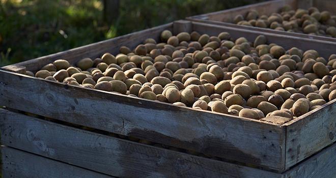 Cette saison, Zespri prévoit de fournir environ 55 millions de plateaux de kiwis premium dans toute l'Europe. Photo : Zespri