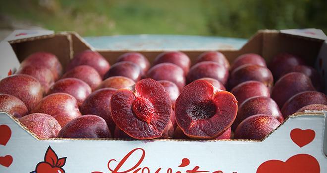 Une cinquantaine de tonnes de la prune Lovita® devraient être commercialisées entre septembre et octobre 2020. Photo : DR