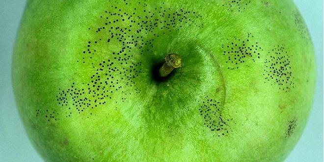 """Exemple de symptômes de """"Schizothyrium pomi"""", maladie des crottes de mouche, sur pomme Granny, répertorié dans Di@gno-Pom. Photo: M. Giraud/CTIFL"""
