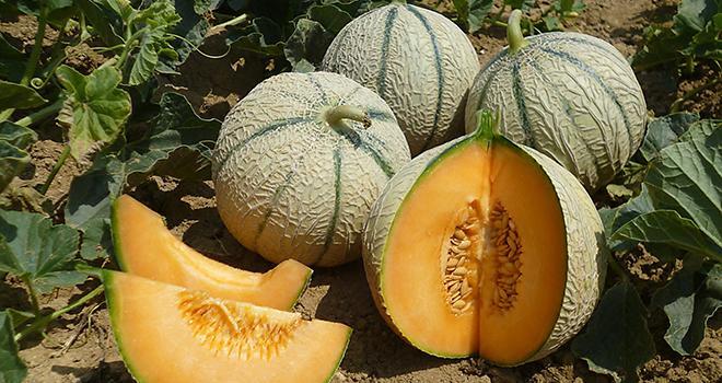 ASL est spécialisé dans les melons à chair orange, comme les types Cantaloup et Charentais. Photo : BASF