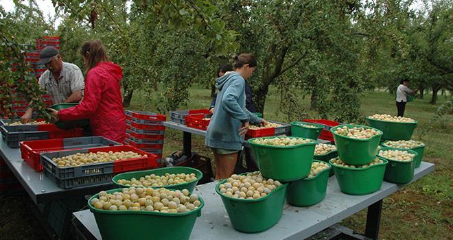 « On devrait atteindre, cette année, les 10 000 tonnes de mirabelles sur l'ensemble de la Lorraine », estimait Cécile Blanpied à mi-parcours de la récolte. La production n'avait pas atteint les 8 000 tonnes en 2017. Photo : H.Grare/Pixel image