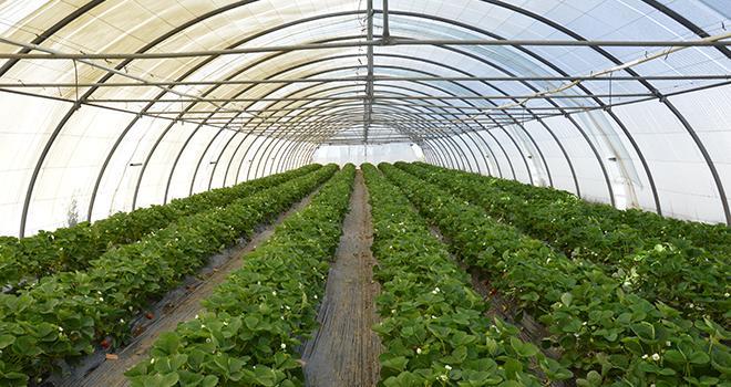 Eradicoat® peut être utilisé pour protéger les cultures de fraise contre divers ravageurs. Photo : C.Even/Pixel6TMC.Even/Pixel6TM