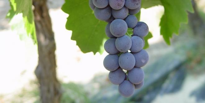 L'étude va notamment évaluer la sensibilité des consommateurs aux atouts santé du raisin de table