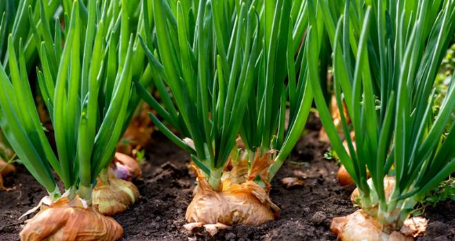 Selon Phytocontrol, cette solution unique en France permet aux opérateurs fruits & légumes de prouver l'absence de traitement phytosanitaire pour les dithiocarbamates. Photo : DR