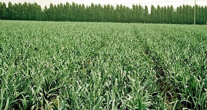 Springbok® obtient une dérogation d'emploi en cultures de poireaux repiqués uniquement, à la dose de 2,5 l/ha. © BASF