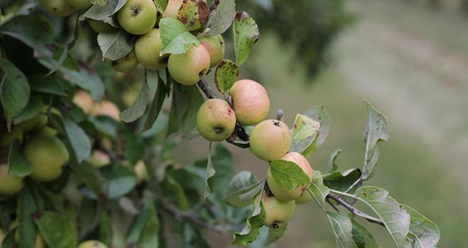 Dans les vergers bretons, la baisse de rendement concerne notamment les variétés précoces.