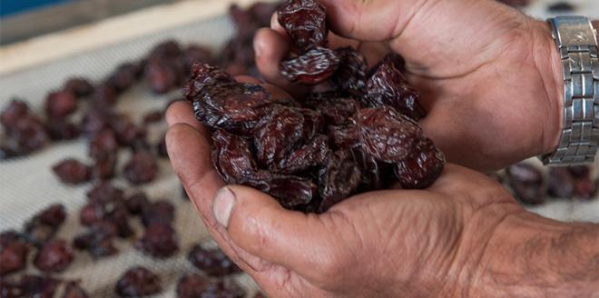 Après une récolte en hausse, le pruneau d'Agen entame sa commercialisation en GMS et épiceries fines. Photo: BIP