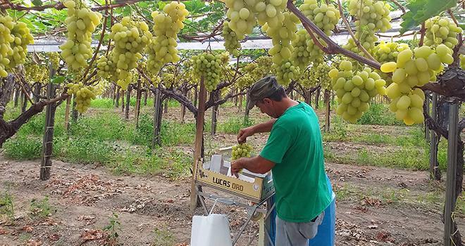 Historiquement lié à l'Italie, le Groupe Peruzzo distribue depuis les années 70 les fruits transalpins sur le marché français, dont le raisin Lucas Oro. Photo Peruzzo