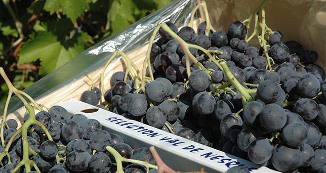 """Les producteurs de raisin de table ne sont pas sans craindre les impacts de l'embargo Russe. """"On a peur du basculement, sur le marché français, de raisins italiens non exportés vers la Russie"""", explique A. Lacoste, directrice de l'AOP raisin. Photo: DR"""