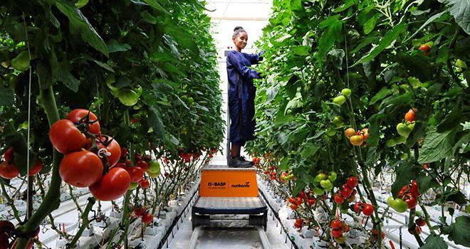 Le nouveau site de production de semences potagères de BASF en Éthiopie offre des conditions de production idéales tout au long de l'année pour les poivrons, tomates et concombres, afin de fournir les clients du monde entier. Photo : BASF