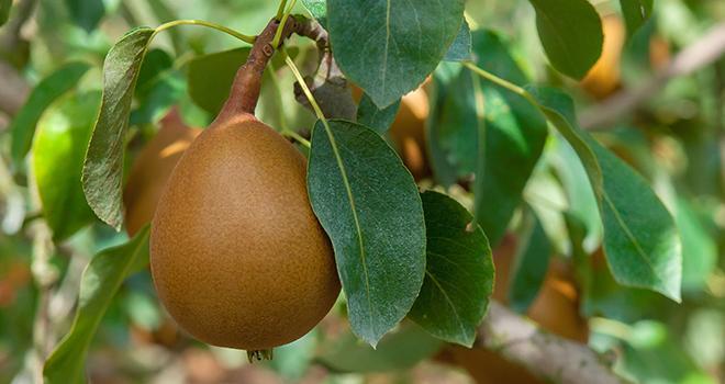 3 600 tonnes de poires Angys® ont été récoltées en France en 2020. Photo : Angys®