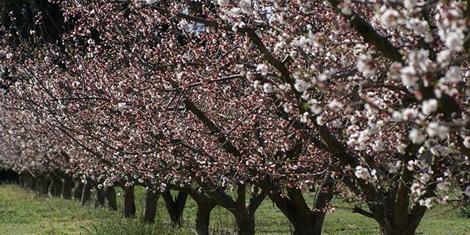 Abricots rouges du roussillon en route vers l 39 aop l - Chambre d agriculture du roussillon ...