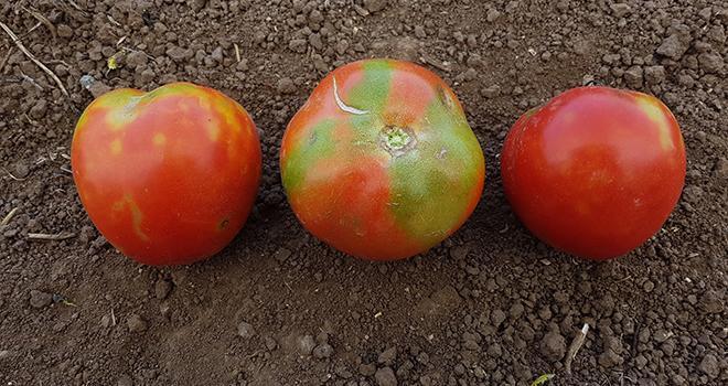 Après la découverte du gène offrant une résistance élevée au virus de la tomate ToBRFV, Enza Zaden annonce poursuivre ses efforts pour développer des variétés de tomates hautement résistantes au virus. Photo : Anses