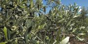 Pensez à protéger vos vergers d'olivier avec le piège maison de l'Afidol.