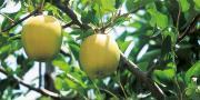 Les pommiers ont connu de bonnes conditions de récolte, avec une époque de maturité des fruits proche d'une année normale.