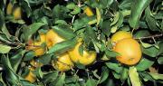 La production de pommes de l'Union européenne devrait se stabiliser au cours de la période 2018-2030. La hausse des rendements compensera le recul des surfaces. Photo : Fotolia