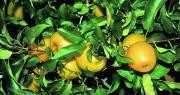 Selon Agrauxine, Moka aurait des effets bénéfiques sur des facteurs qualitatifs tels que la couleur des fruits, sur la pomme. Photo : DR