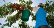 La prévention du risque de chute de hauteur est une problématique importante pour la filière de l'arboriculture fruitière.