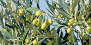 La production française d'huile d'olive devrait retrouver un niveau normal en 2017.