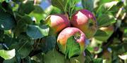 Au 1er juin 2015, la production française de pommes est estimée à 1,57 millions de tonnes.