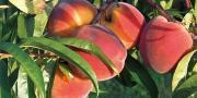 Il faudra attendre le 30 mai prochain pour obtenir une estimation de récolte au niveau européen.